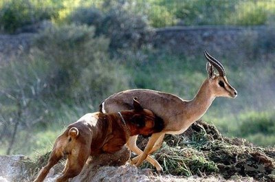 boxer_against_antelope_1
