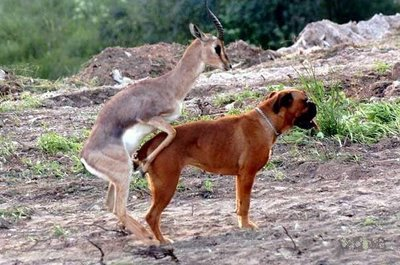 boxer_against_antelope_2